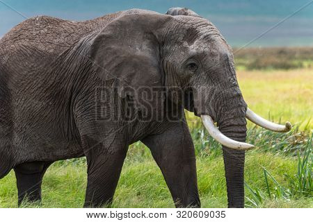 African Elephant In A National Park In Kenya.