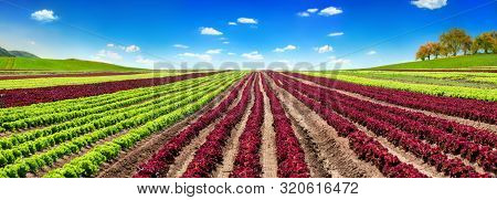 Panoramic Agriculture Shot Showing A Large Red And Green Lettuce Field With Clear Blue Sky