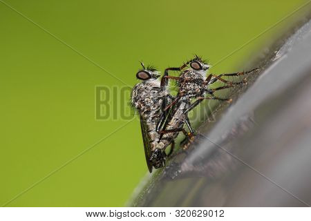 Close-up Of Two Robber Flies (efferia Aestuans), Copulating On A Gray Surface. Male Having His Paw O