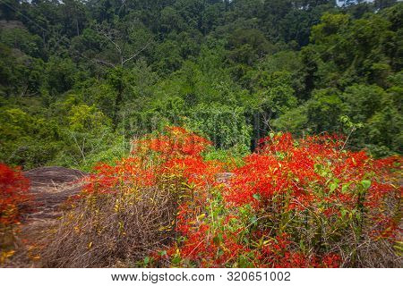Red wild orchid or Renanthera coccinea Lour. Found in the deep area of Khao Yai National Park Pha Kluai Mai waterfall area poster