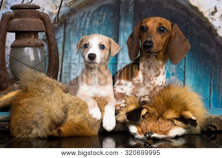 Dachshund puppy and whippet puppy