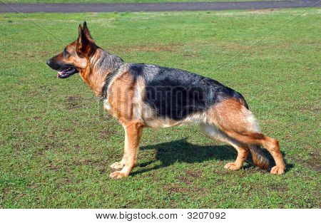 Profile of large German Shepherd dog outside on grass. poster