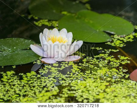 Water Surface Including A Water Lily And Duckweed Plants