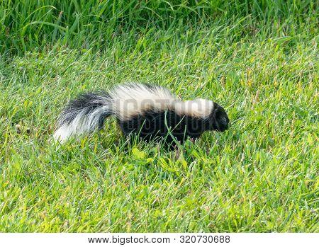 Skunk In The Yard