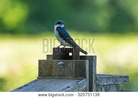 Tree Swallow Sitting On Post