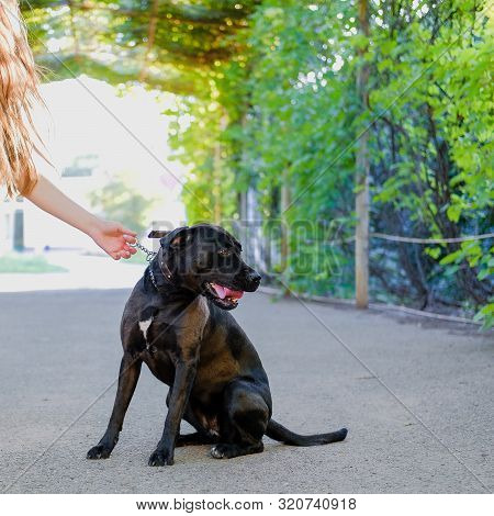 Young Girl Is Walking With Her Dog On A Leash On Asphalt Sidewalk. Strong Black Labrador And Staffor