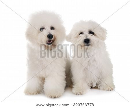 Young Bichon Frises In Front Of White Background