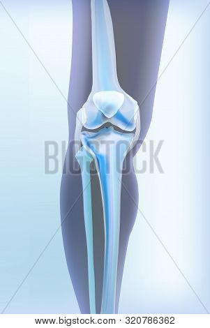 Light Blue Transparent View Of Bones The Of Knee Skeleton Bones Of Human Leg. Anatomy Of Joints, Fro