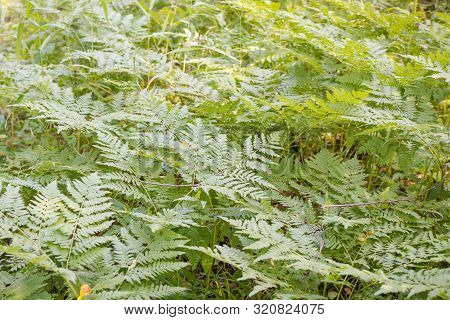 Fern Grows In The Forest. Fern Leaf Close Up. Fern Bush. Plant In The Forest. Rare Plant. Fern In Si