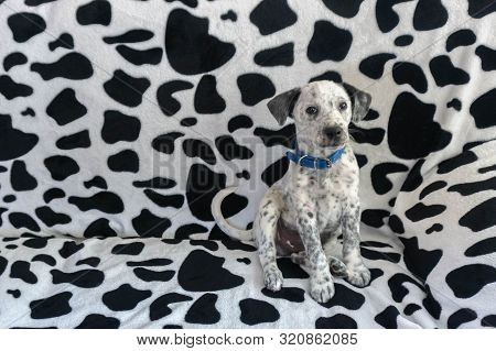 Find Dog. Young Mixed Dalmatian Sitting On Dalmatian Pattern Couch. Spotty Puppy Blending Camouflage