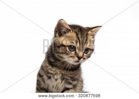 Young Sad British Cat Isolated On White Background