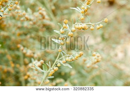 Artemisia Absinthium, The Grand Wormwood, Detail With Flowering Twig In Sunlight