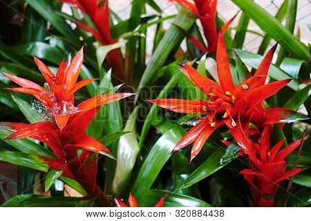 Red Bromelias In A Greenhouse Or Flowerbed, Floral, Natural Background, Guzmania Lingulata Flower.