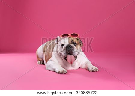 Adorable English Bulldog With Sunglasses On Pink Background