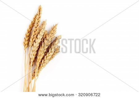 Wheat Isolated On White Close Up. Ears Of Wheat. Isolated Bunch Of Golden Wheat Ear After The Harves