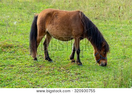 Cute Little Brown Pony In A Meadow Near An Old Farm. Pony Eating Fresh Juicy Grass