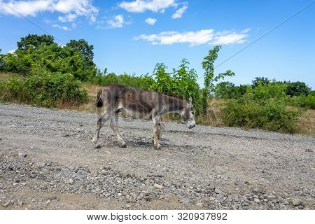 A Lone Donkey Walks Along A Dirt Road. Cape Emine. The Bulgarian Black Sea Coast.