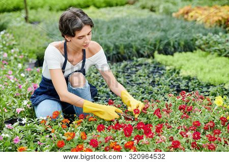 Concentrated Nursery Garden Worker In Apron And Rubber Gloves Prunning Red Blooming Flowers