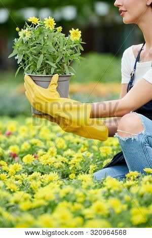 Cropped Image Of Woman Choosing Plant Blooming With Yellow Flowers In Nursery Garden