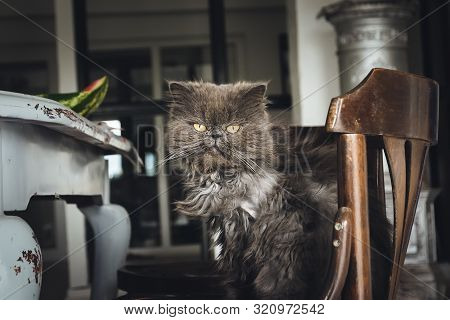 Close up of grumpy cat. Grumpy cat portrait. Close up of grumpy cat on chair. Cat. Nature. Cat sitting on chair. Close up of house cat. Grumpy cat in living room . Domestic cat. Persian cat. poster