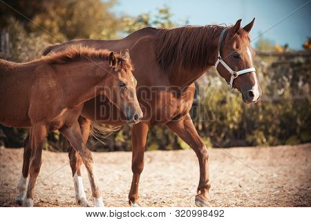 Cute Fluffy Red Colt Walks With His Mother, Whose Muzzle Is Wearing A Halter, In The Paddock On The