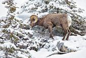 Bighorn sheep foraging on a snowy mountain hillside in Jasper National Park, Alberta,Canada. poster