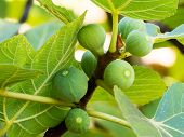 Figs on the branch of a fig tree poster