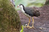 White-breasted Waterhen - Amaurornis phoenicurus waterbird of the rail and crake family, Rallidae, widely distributed across South and Southeast Asia, dark slaty birds with white face, breast and belly. poster