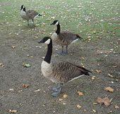 Canada Goose (Branta canadensis) animal of phylum Chordata, clade Ornithurae, class Aves (birds) poster