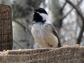 Black Capped Chickadee watching from a perch poster