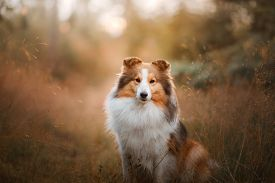 Dog In The Yellow Grass At Sunrise. Obedient Beautiful Sheltie Posing In The Park