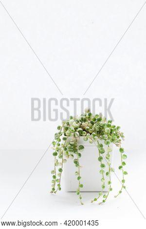 Senecio Rowleyanus Variegated Succulent Plant On White Background