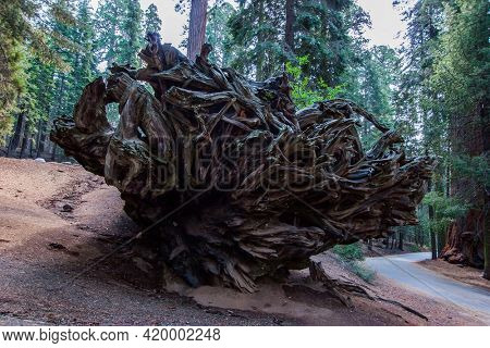 Huge roots of a giant sequoia. Happy tourist is photographed at the foot of the great tree. Sequoia is a tree of the Cypress family. Sequoia Park in California, USA.