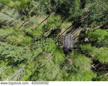 Site Of The Mixed Deciduous And Coniferous Forest With Birches And Pines In Spring Sunny Day, Vertic