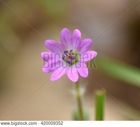 Macro Detail Of Geranium Of The Roads (geranium Molle). Pink Purple Flowers With Jagged Petals. Loca