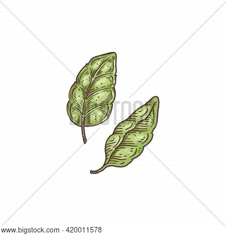 Green Fresh Aromatic Basil Leaves, Hand Drawn Vector Illustration Isolated.