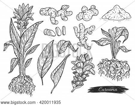 Set Of Turmeric Or Curcuma Plant Parts, Engraving Vector Illustration Isolated.