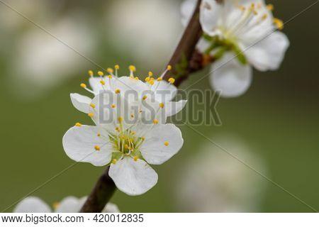 Macro Shot Of Blackthorn (prunus Spinosa) Blossom