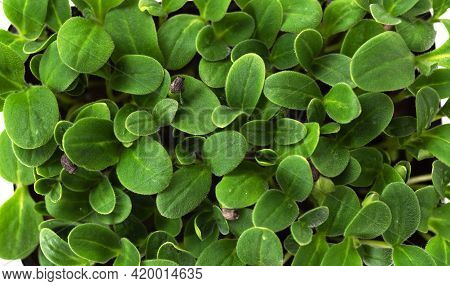 Microgreen Close-up. Sunflower Microgreens As Background, Microgreens, Healthy Food