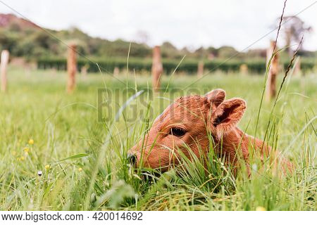 Newborn Calf Lying In The Field Among The Grasses. Rural Environment And Industry. Farm Animals.