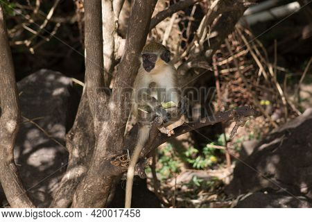 A Cute Monkey Lives In A Natural Forest. Charismatic Monkeys. Island Of Monkeys. Vietnam. North Isla