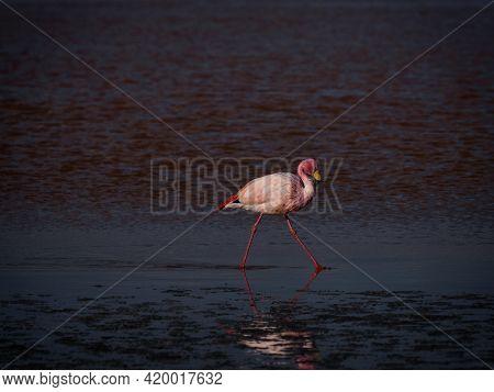 James Flamingo Phoenicoparrus Jamesi In Red Salt Flat Lake Laguna Colorada Uyuni Potosi Sur Lipez An