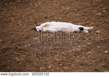 One Cat Sleeping In Agriculture Field. Natural Environment.