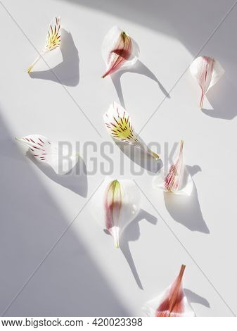 Top Ivew On Alstroemeria Petals On White Background. Geometrical Backdrop With Fragile Petals, Light