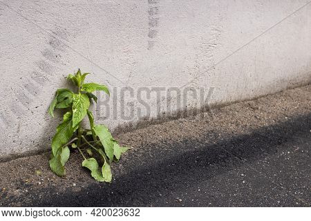 Green Plant On The Asphalt By The Wall, Copy Space