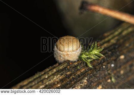 A Very Small Woody Fungus Crucibulum Laeve And A Piece Of Moss, Super Macro