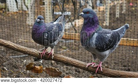 German Modena Couple Pigeon. Decorative Colorful Pigeons. Beautiful Originals Various Types Breed Do