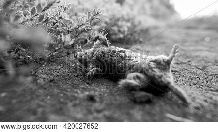 A Dead Mole, Black And White Photo.