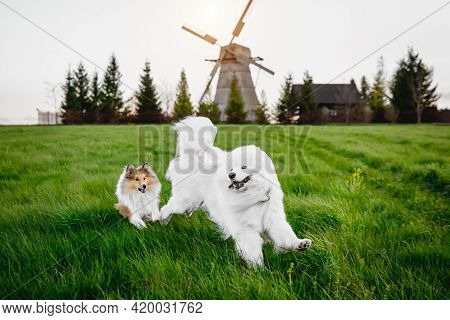 Two Dogs Are Running On The Grass Meadow. Windmill On The Background. Sheltie And Samoyed - Bjelkier