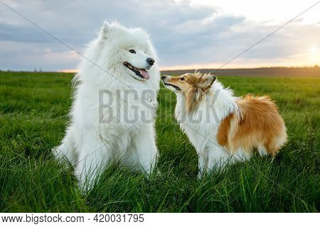 Two Dogs Are Sitting On The Lawn. Sheltie And Samoyed - Bjelker's Friendship.